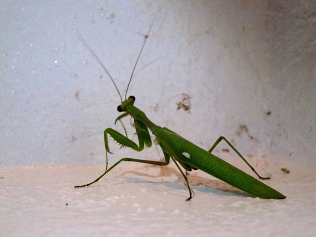 Praying Mantis with his heart on his sleeve. Photo by Jesse Sargeant.